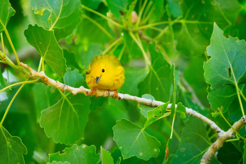 American Yellow Warbler On Branch
