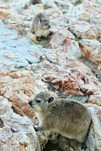 Wild dassie (rock hyrax) posing for the camera in Cape Town, South Africa South Africa Dassie Rock Hyrax Animals Wildlife Wildlife & Nature Wildlife Photography Posing Animals Animals In The Wild Animals In The Wild Animal Themes One Animal Animal Wildlife Day No People Outdoors Nature Mammal Close-up
