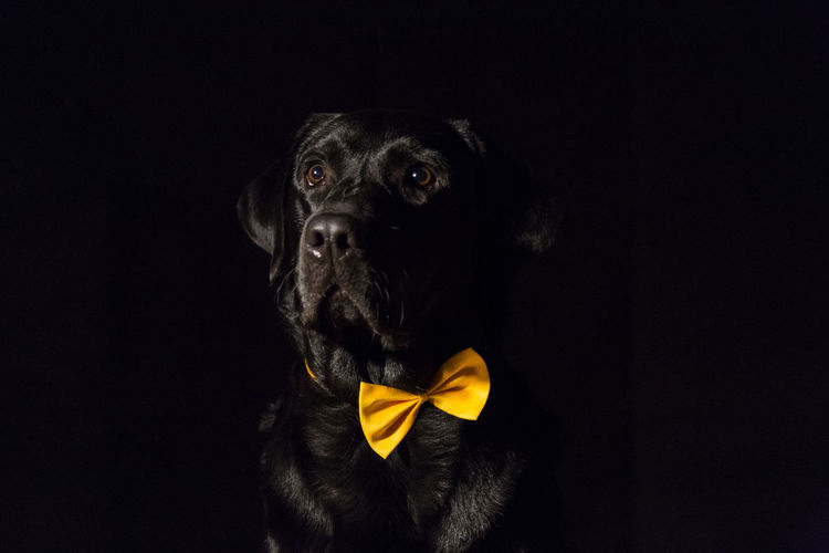 Portrait of dog over black background