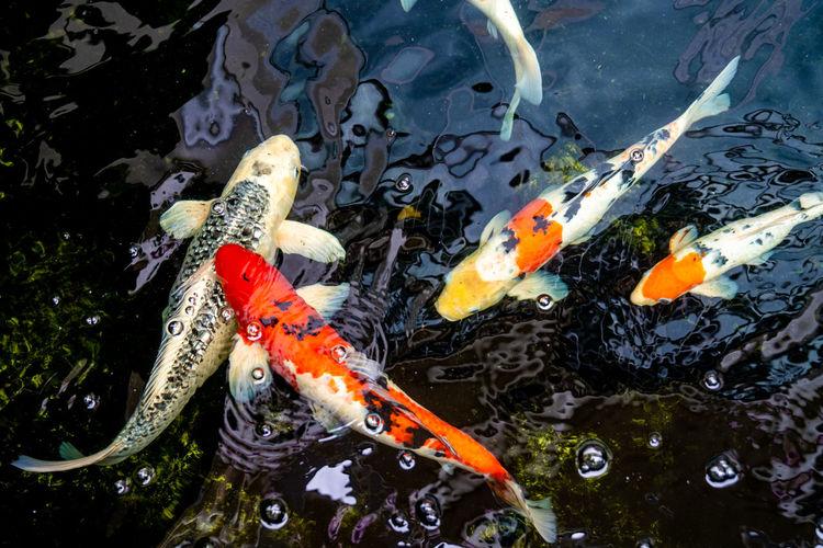 Koi carps swimming in pond