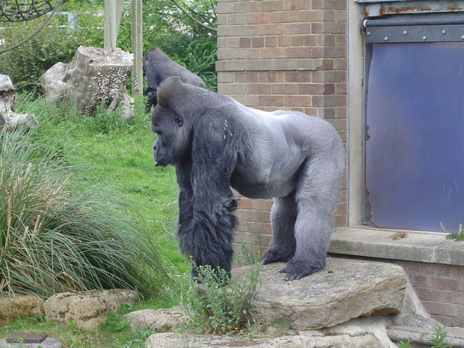 Animal Black Color Bristol Zoo Day Gorilla Grass Green Color Growth Mammal Nature No People Outdoors Plant Zoo