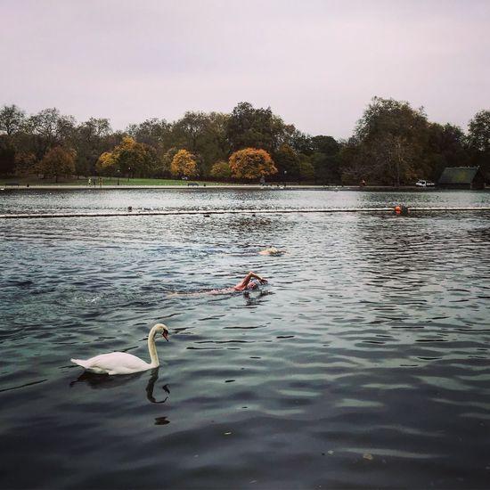 The swans Water Lake Swan Animal Themes Swimming Bird Nature Tree Water Bird Outdoors Beauty In Nature Urbanpark Postcode Postcards