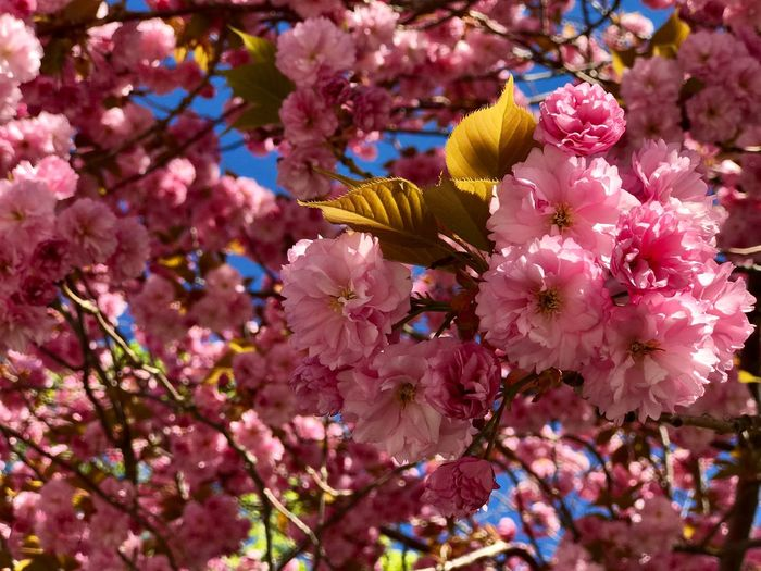 Cherry Blossoms Flowering Plant Flower Plant Growth Fragility Beauty In Nature Pink Color Freshness Petal Tree Blossom No People Springtime Close-up