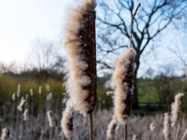 Calming. Beauty In Nature Cattail Close-up Cold Temperature Focus On Foreground Fragility Growth Nature Outdoors Plant Dof Bokeh Tranquility Tree Winter