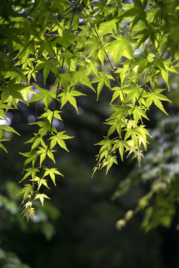 rainy day of Bijarim which is a famous forest in Jeju Island, South Korea Beauty In Nature Bijarim Close-up Day Forest Freshness Green Color Growth JEJU ISLAND  Leaf Maple Nature No People Outdoors Plant Rainy Tree