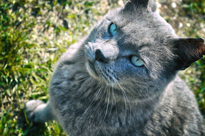 Cat looks at you in the face without fear Ice Animal Animal Body Part Animal Eye Animal Head  Animal Themes Blu Eyes  Blue Cat Close-up Domestic Animals Domestic Cat Feline Grass Grey Ice Eyes Looking No People One Animal Pets Portrait