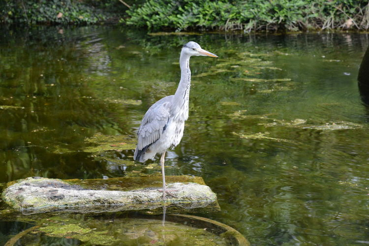 Gray heron perching on rock in lake