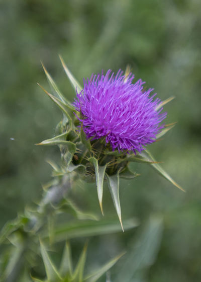 Flower Flowering Plant Freshness Plant Close-up Thistle Purple Beauty In Nature Fragility Vulnerability  Growth Nature Flower Head Inflorescence No People Green Color Day Focus On Foreground Petal Outdoors Sepal