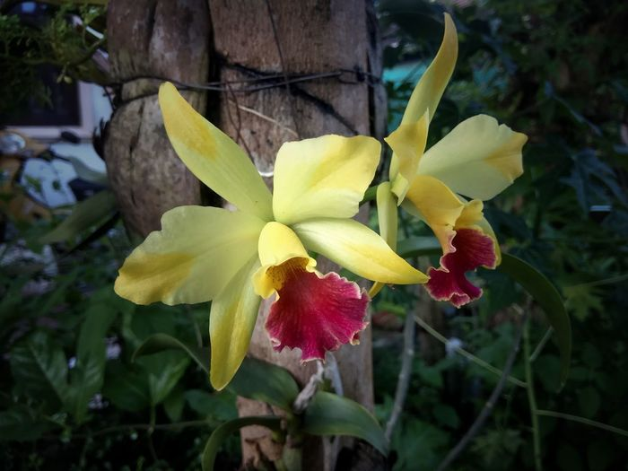 orchid catalyar Orchids Air Orchid Yellow Flower Yellow Orchids Flower Head Flower Yellow Red Petal Leaf Close-up Plant