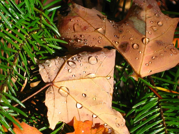 Huntsville, Canada. Mizzy Lake Trial. Unforgettable day. Autumn Autumn Colors Autumn Leaves Beauty In Nature Botany Canadian Autumn Change Close-up Growing Growth Leaf Leaf Vein Leaves Maple Leaf Rain Drops Season  Tranquility