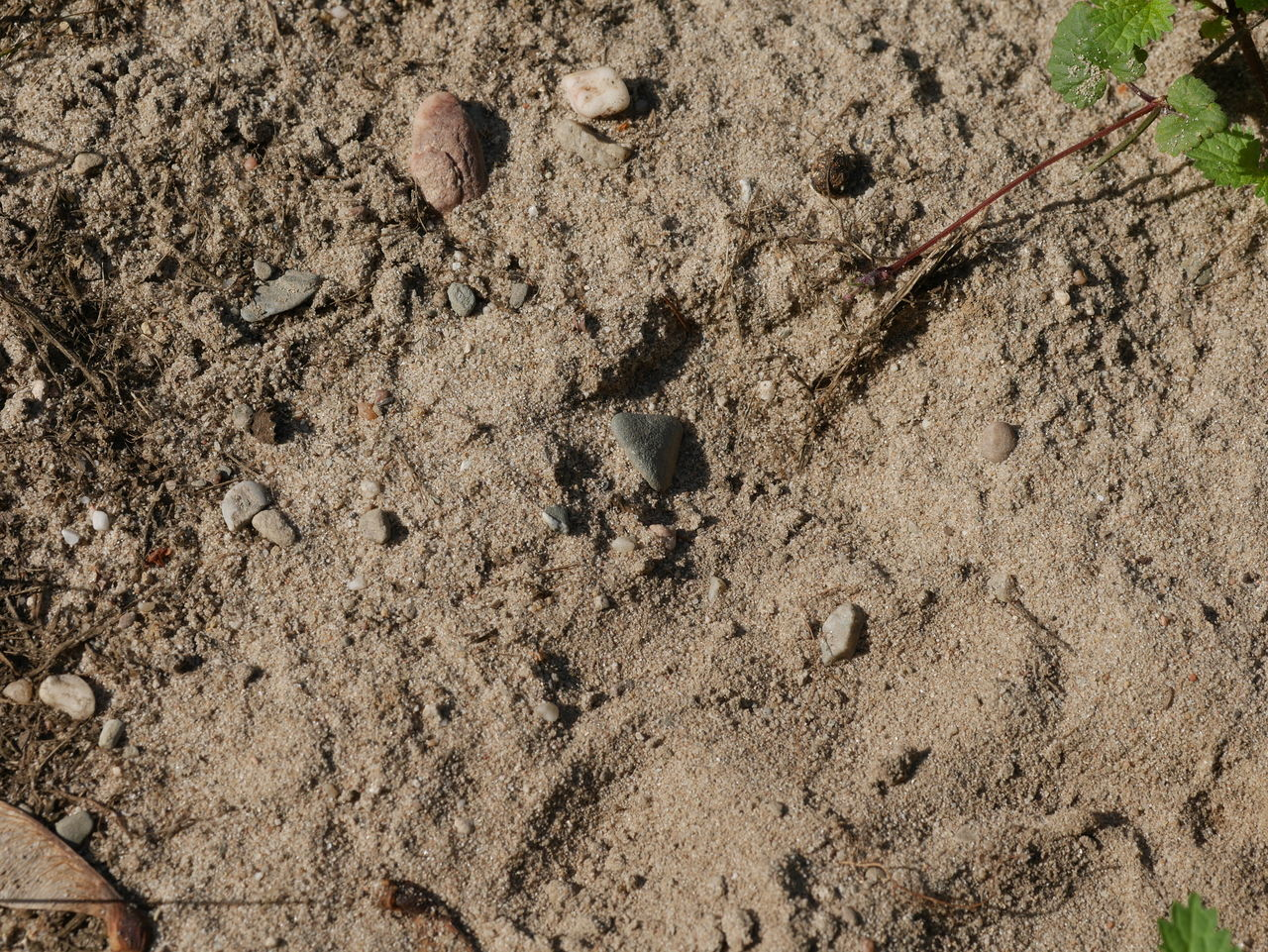 animal track, footprint, high angle view, paw print, no people, day, outdoors, sand, close-up, animal themes, nature, mammal