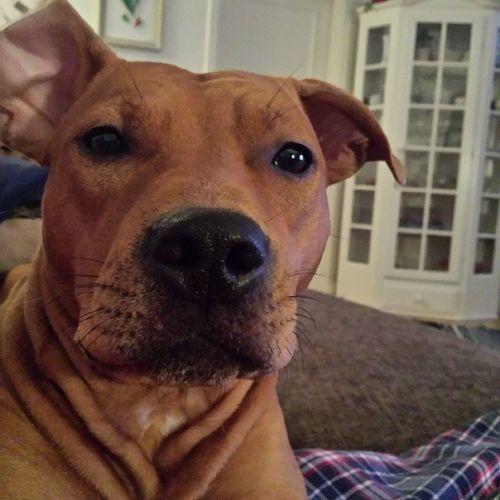 Love My Pitbullterrier Pitbullinstagram instapit instadog pitty dontbullymypitbull dog doglove halmstad halland dontbullymypitbull13 dbmpfall
