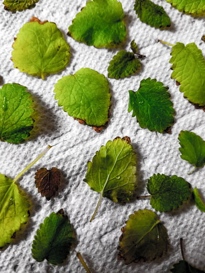 Green Color Leaf Nature No People Plant Close-up Beauty In Nature Fresh Herbs  Fresh Freshness Leaves Closeup Leafy Leaf Pattern Close Up Paper Towel Herb Herbs Drying Leaves Drying BackgroundLeaves White Texture Tea Ingredient Lemon Balm EyeEmNewHere