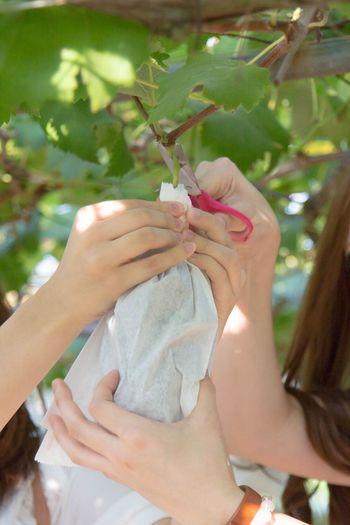 Cropped Hands Harvesting In Vineyard