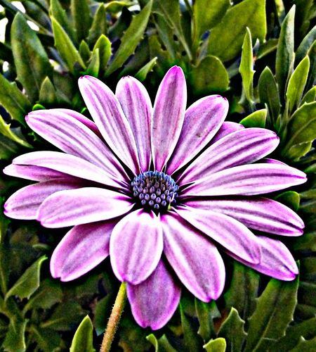 📷 Ligera obsesión con las flores 🌸 Flower Head Flower Osteospermum Petal Pollen Close-up Blooming Plant Botany Plant Life Passion Flower