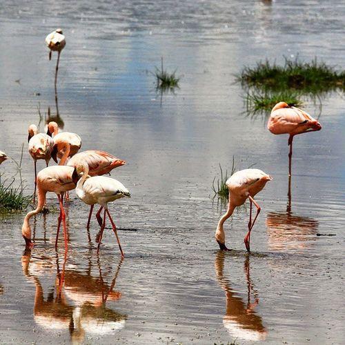 Flamingos being so graceful Kenya LakeNakuru