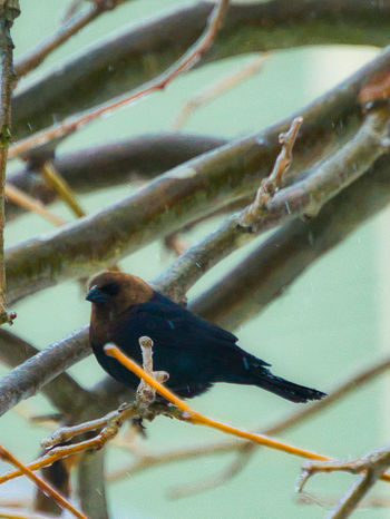 Animal Animal Themes Animal Wildlife Animals In The Wild Bird Branch Close-up Cowbird Day Focus On Foreground Low Angle View Nature No People One Animal Outdoors Perching Perching On A Branch Plant Selective Focus Springtime Tree Twig Upstate New York Vertebrate