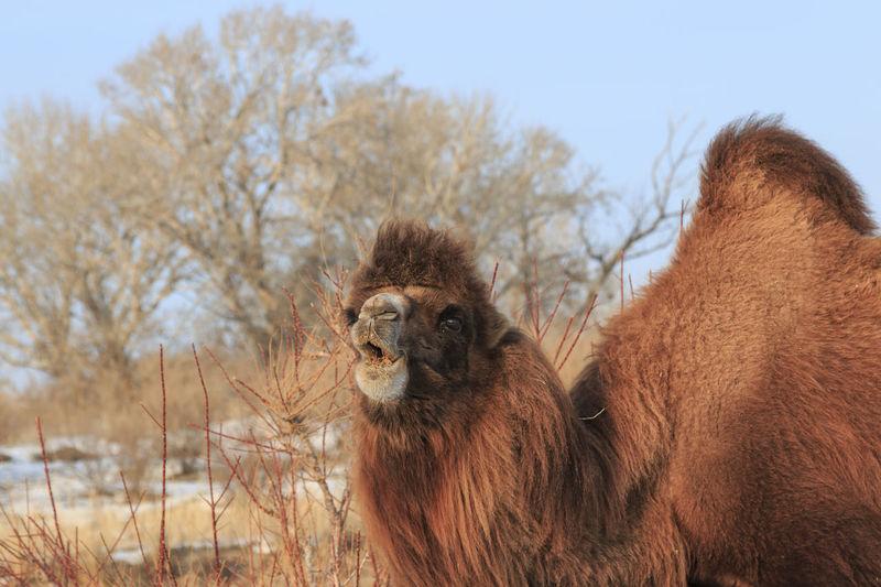 Two-humped Bactrian Camel in Xinjiang, China (Camelus bactrianus) ASIA Bactrian Camel Kazakhstan Mongolia Urumqi Winter XinJiang Altai China Hasake Minority Pagan Gods Religion Sacrifice Tuva Minority