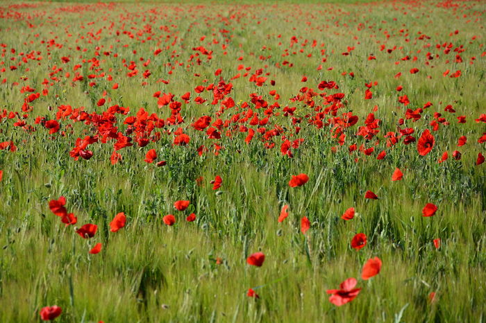Nature's Diversities poppies poppy flowers red green colors grass field nature beauty landscape plants spring Fine Art Photography Colour Of Life Miles Away Sommergefühle Breathing Space Been There.
