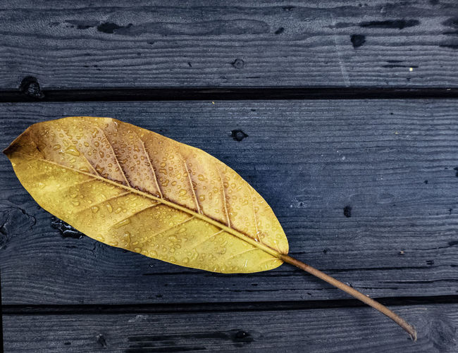 Large yellow leaf dotted with water droplets on a blue wood bench Wood - Material Plant Part Directly Above High Angle View Leaves Leaf Vein Leaf Water Droplets Beauty In Nature Textured  Nature Water Drop No People Close-up Autumn Blue Yellow Still Life Plank Table Outdoors
