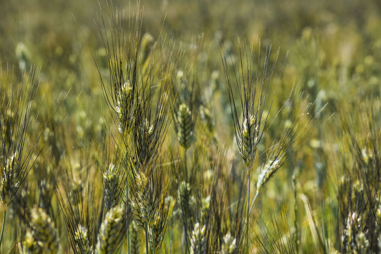 Agriculture Backgrounds Barley Beauty In Nature Cereal Plant Close-up Crop  Day Farm Field Focus On Foreground Green Color Growth Land Landscape Nature No People Outdoors Plant Rural Scene Wheat