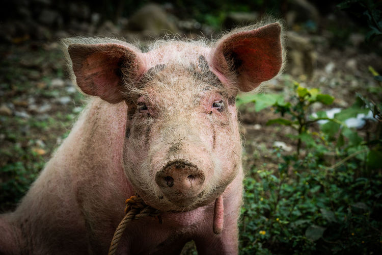 beautiful pig from the sierra de veracruz Animal Themes Animal One Animal Nature Outdoors Animal Nose No People Close-up Pets Pig Livestock Domestic Animals Herbivorous Animal Head  Focus On Foreground Animal Body Part Looking At Camera Day Portrait