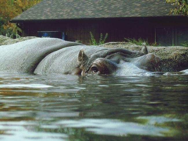 Hippo Look In My Eyes Zoo Animals  Zoogranby The Tourist Hipopotam Hippopotamus Hipopo Hipopotamó