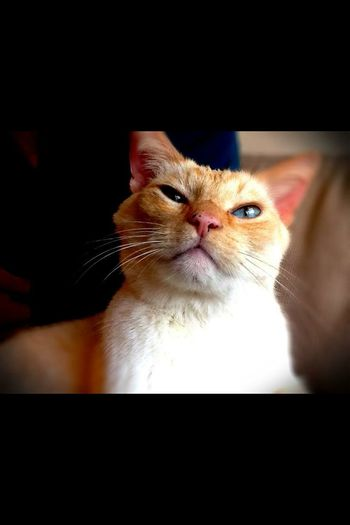 Pinot Blanc Blue Eyes white cat.