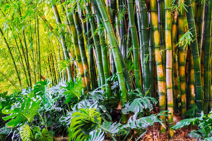 a bamboo plantation Bamboo Grove Bamboo Plant Ecouter Exotic Bamboo Bamboo - Plant Bamboo Art Bamboo Forest Bamboo Grove Beauty In Nature Day Freshness Green Color Growth Nature No People Outdoors Plant Tranquility