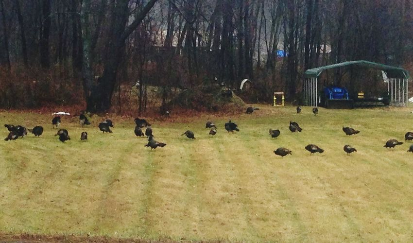 Wild Turkeys IPhoneography Photography On A Nice Day New York State Nature Bird Photography Birds