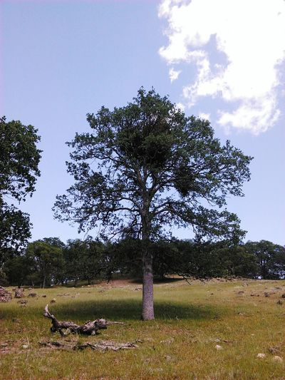 Mistletoe Tree Mistletoe Oak Tree On A Hill Hello World