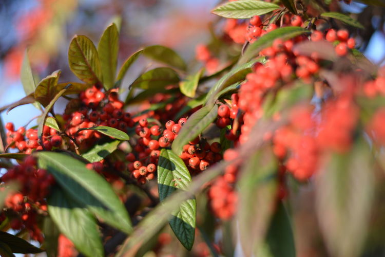 Beauty In Nature Berries On A Branch Close-up Closeup Day Freshness Leaf Leaves BushesMacro Nature No People Outdoors Red Rowanberry Winter Berries Garden In Focus Berries On Branch Large Group Of Objects Large Amount Berries