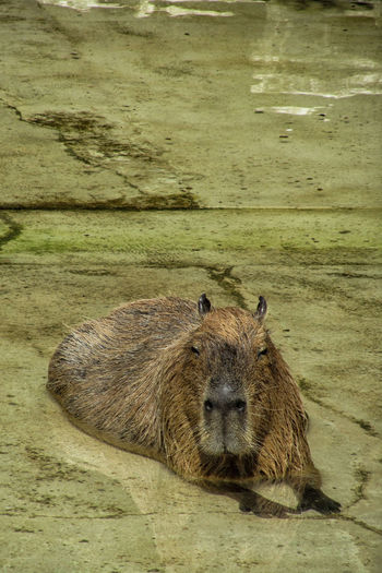 Portrait of capybara