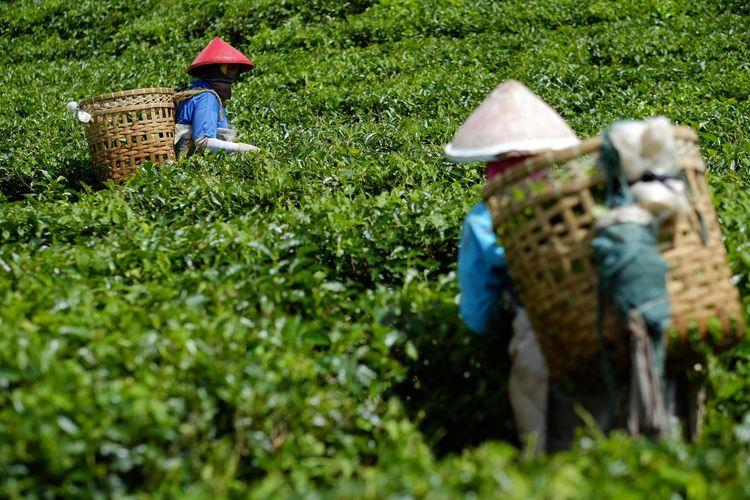 tea picker Tea Backgrounds Nature Tea Greentea Working Farmer Occupation Rural Scene Men Agriculture Asian Style Conical Hat Field Hat Manual Worker Tea Crop Farm