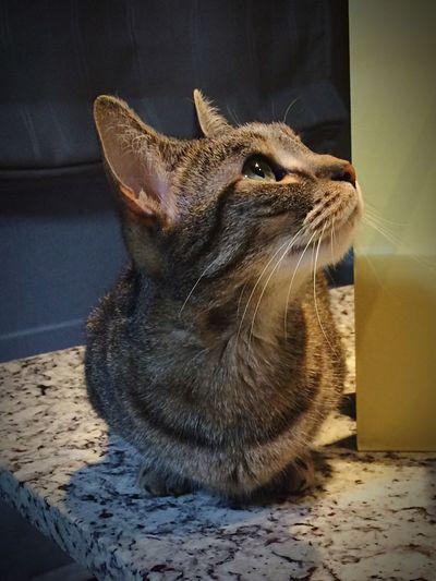 マンチカン 猫 ねこ ペット モカ Cat♡ Cat Cat Lovers Cats 🐱 Cat Photography Munchkin❤ Munchkin Munchkins Animal Animal Photography Animal_collection