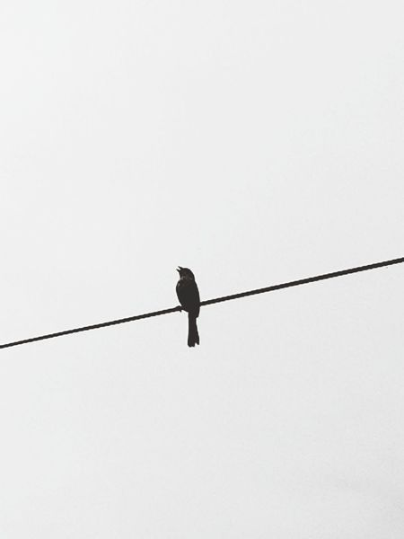 Cable Bird Perching Animal Wildlife One Animal Outdoors Singing Bird Nature Sky