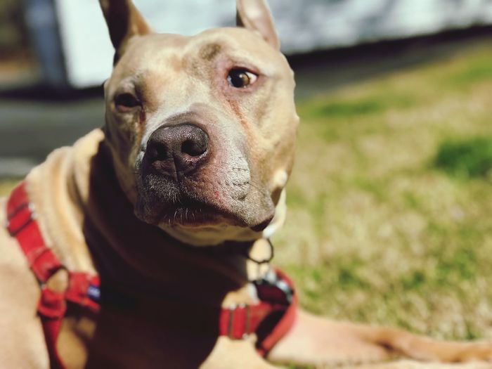 Dog One Animal Pets Domestic Animals Mammal Animal Themes Looking At Camera Outdoors Real People Human Body Part Close-up Pit Bull Terrier Day One Person Portrait Human Hand People