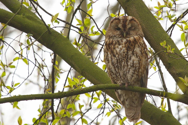 Beauty In Nature Bird Of Prey Bosuil Strix Aluco Tawny Owl UIL Wildlife & Nature Wildlife Photography