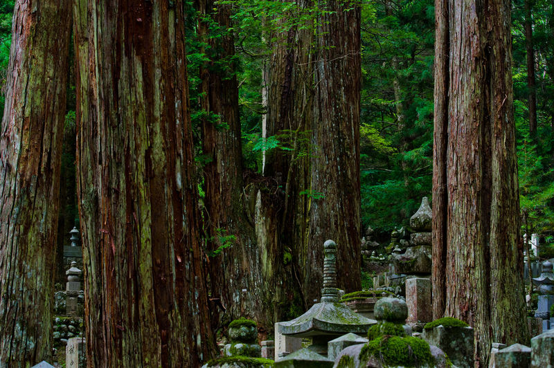 Tree Tree Trunk Trunk Plant No People Forest Nature Land Growth WoodLand Day Tranquility Travel Destinations Outdoors Green Color Cemetery Grave Architecture Tranquil Scene Summer Mount Koya Koyasan Buddhism World Heritage