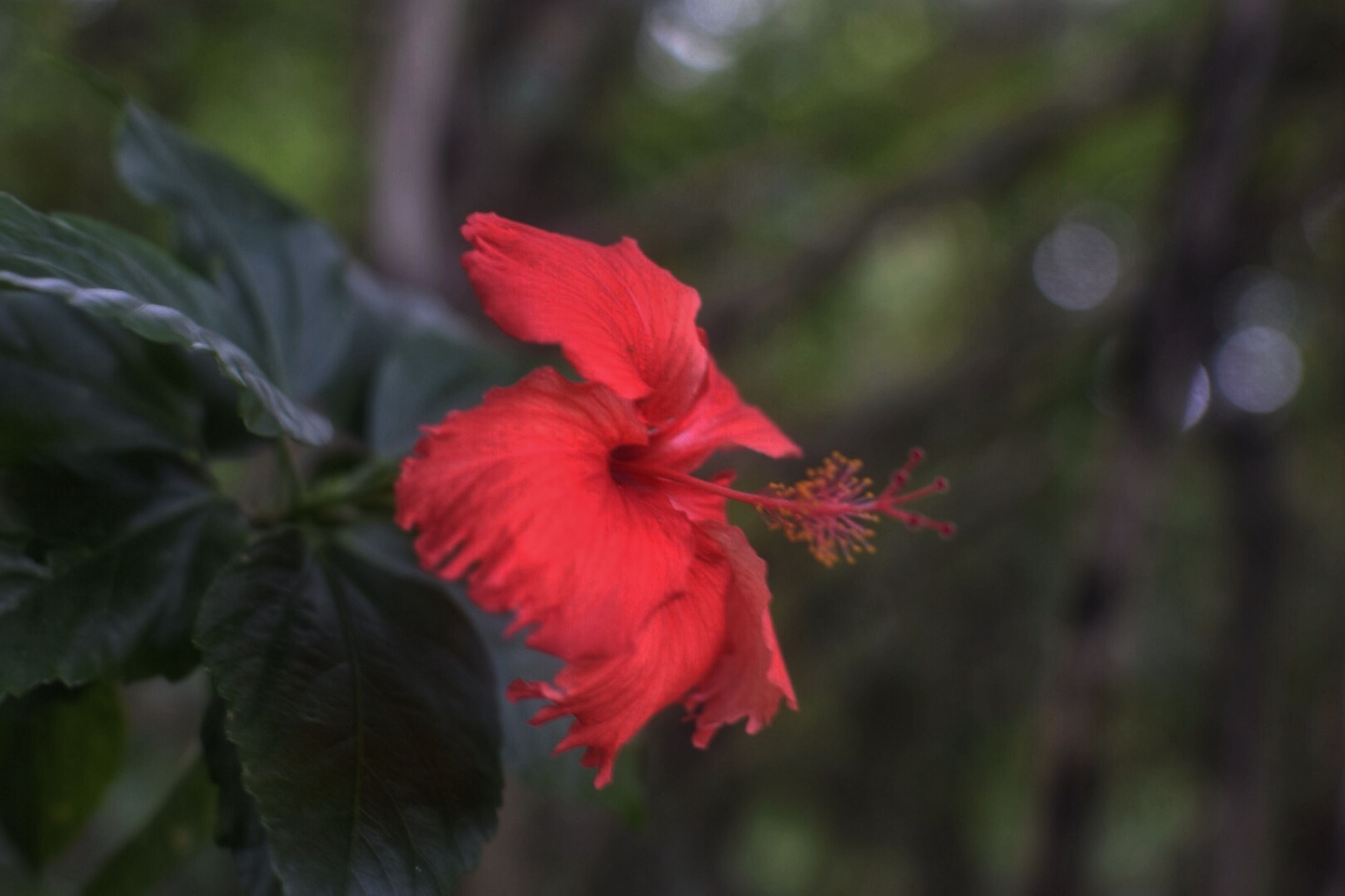 flower, petal, red, freshness, flower head, growth, fragility, focus on foreground, close-up, beauty in nature, plant, nature, blooming, leaf, single flower, in bloom, day, park - man made space, outdoors, selective focus