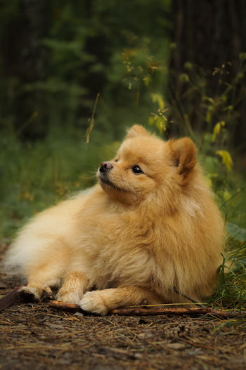 Purebred german spitz lies in a clearing in the forest. walk with the dog in the forest
