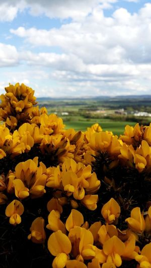 Scotland Horizon Yellow Flower Flowering Plant Beauty In Nature Cloud - Sky Plant Sky Growth Vulnerability  Fragility Nature Freshness Flower Head Tranquility Inflorescence Land Petal Scenics - Nature No People Day