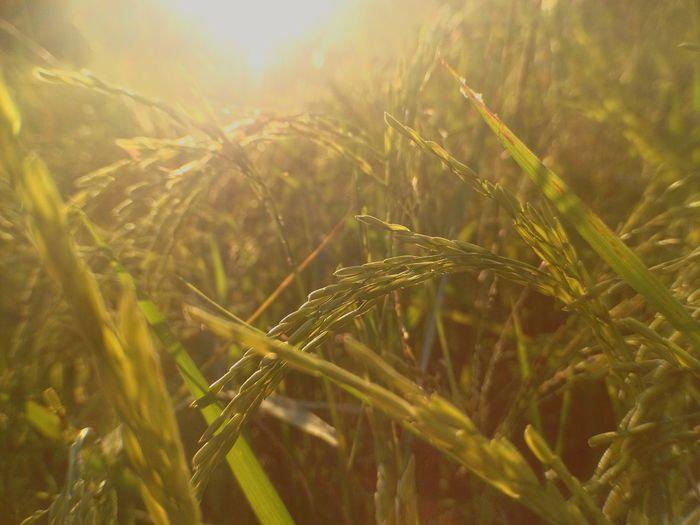 Rice plant 🌾🌾