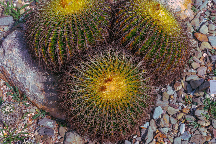 Macro Macro Photography Nature Nature_collection Nature Photography Cactus Cactus Flower Cactaceae Sacred Geometry Geometry Geometry Pattern Plants And Flowers Plant Life San Miguel De Allende Mexico Growth Succulent Plant Day No People Close-up Solid High Angle View Plant Barrel Cactus Spiked Thorn Beauty In Nature Land Natural Pattern Rock Field Sharp Outdoors Spiky