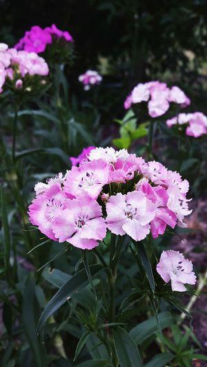Flowers Nature Naturephotography Plants Pink Pink Flower Garden Photography Summeriscoming HolidaysAreComing
