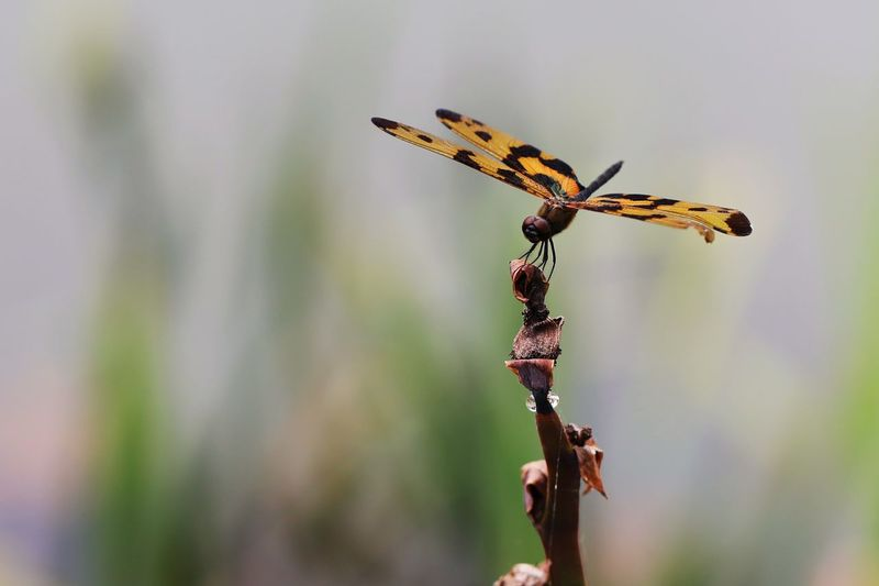 Dragonfly Insect Invertebrate Focus On Foreground Animals In The Wild Animal Animal Themes Animal Wildlife