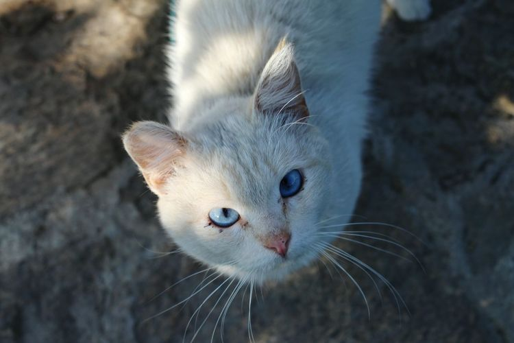 Cat Cats Catoftheday Blue Eyes Nofilter Animals