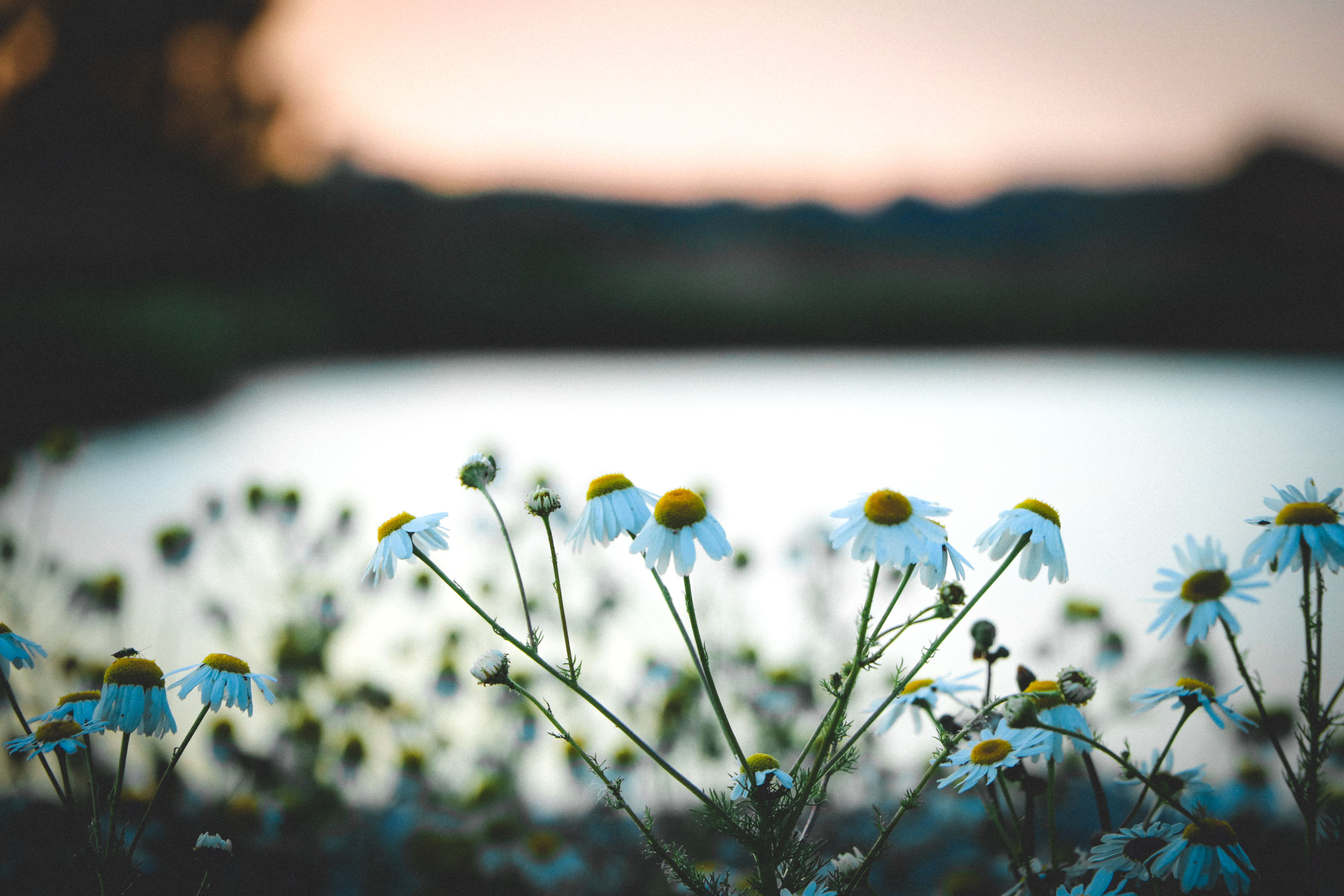 plant, flower, nature, flowering plant, sunlight, beauty in nature, freshness, green, macro photography, sky, grass, morning, no people, water, landscape, leaf, selective focus, blue, tranquility, environment, close-up, land, focus on foreground, springtime, reflection, yellow, outdoors, wildflower, scenics - nature, meadow, growth, fragility, field, plain, summer, tranquil scene, blossom, light, rural scene, lake, multi colored, flower head, day, non-urban scene, twilight, daisy