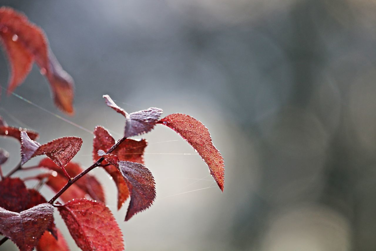 nature, leaf, autumn, beauty in nature, change, focus on foreground, day, weather, growth, cold temperature, outdoors, winter, close-up, red, drop, no people, plant, fragility, water, freshness