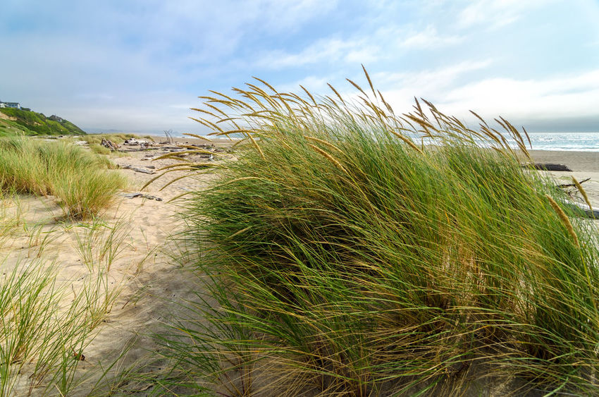 Wind blowing through grass at the Oregon coast Beach Beauty Coast Coastal Dune Dunes Environment Grass Landscape Lincoln City Lincoln City Beach Lincoln City, Oregon Natural Nature Oregon Oregon Coast Outdoor Outdoors Sand Sea Summer Sunlight Texture Textured  Water